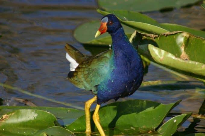 Purple Galinule, Everglades National Park, Florida