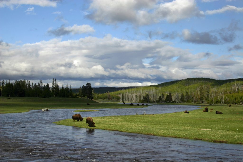 bison in the River, Yellowstone National Park