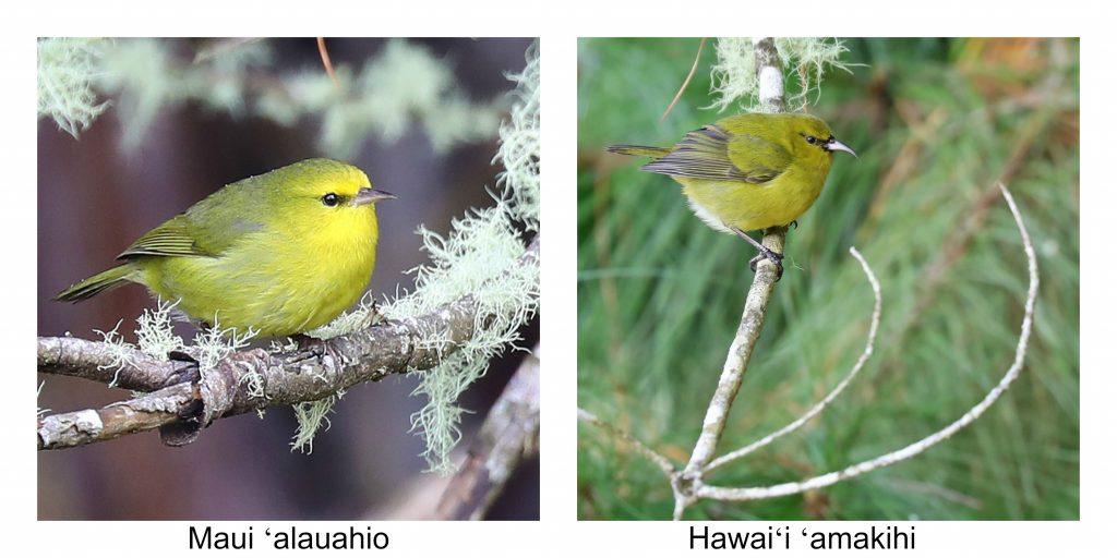 Things to do Haleakala National Park. Haleakala is located on the beautiful island of Maui Hawaii. My travel tips include watching sunrise, hiking, biking and bird watching! #haleakala #maui #hawaii #nationalpark