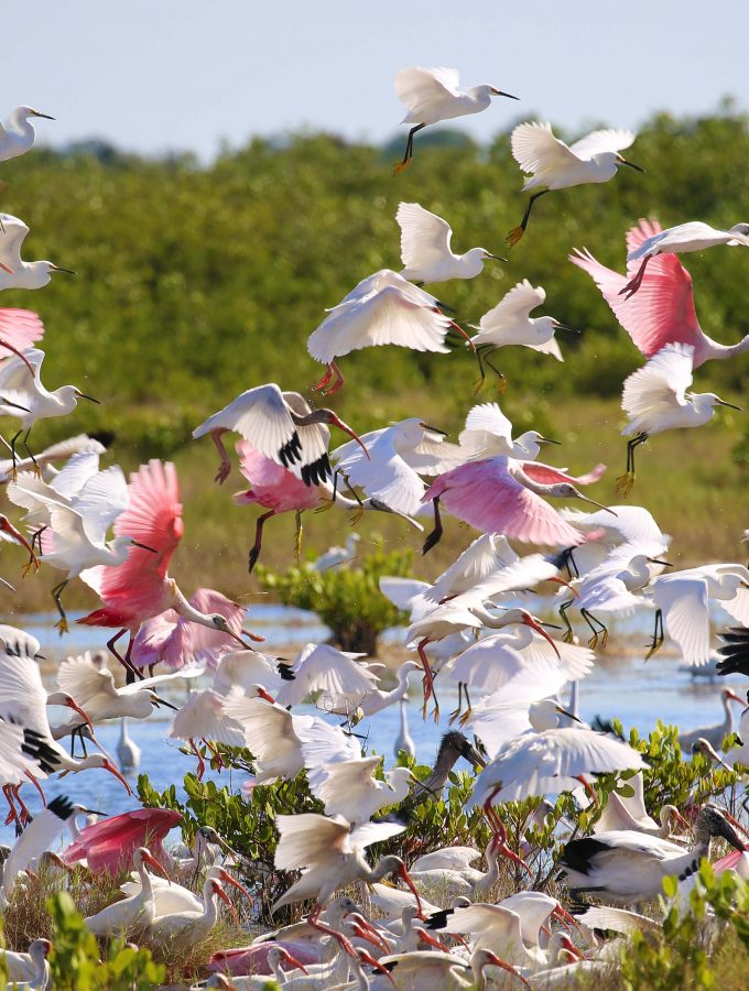 Roseatte Spoonbills taking flight in a large group at Canaveral National Seashore