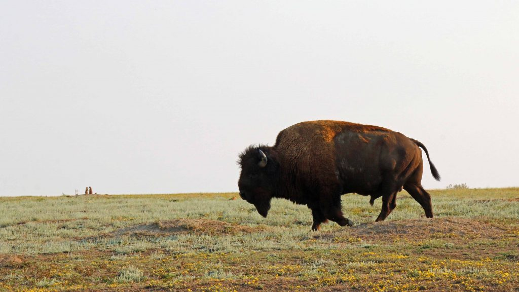 Things to do Theodore Roosevelt National Park in North Dakota include camping, hiking, taking scenic drives, having picnics and seeing the parks abundant wildlife like Prarie Dogs, Wild Horses, and Bison. #Theodoreroosevelt #theodorerooseveltnationalpark #nationalparks #findyourpark