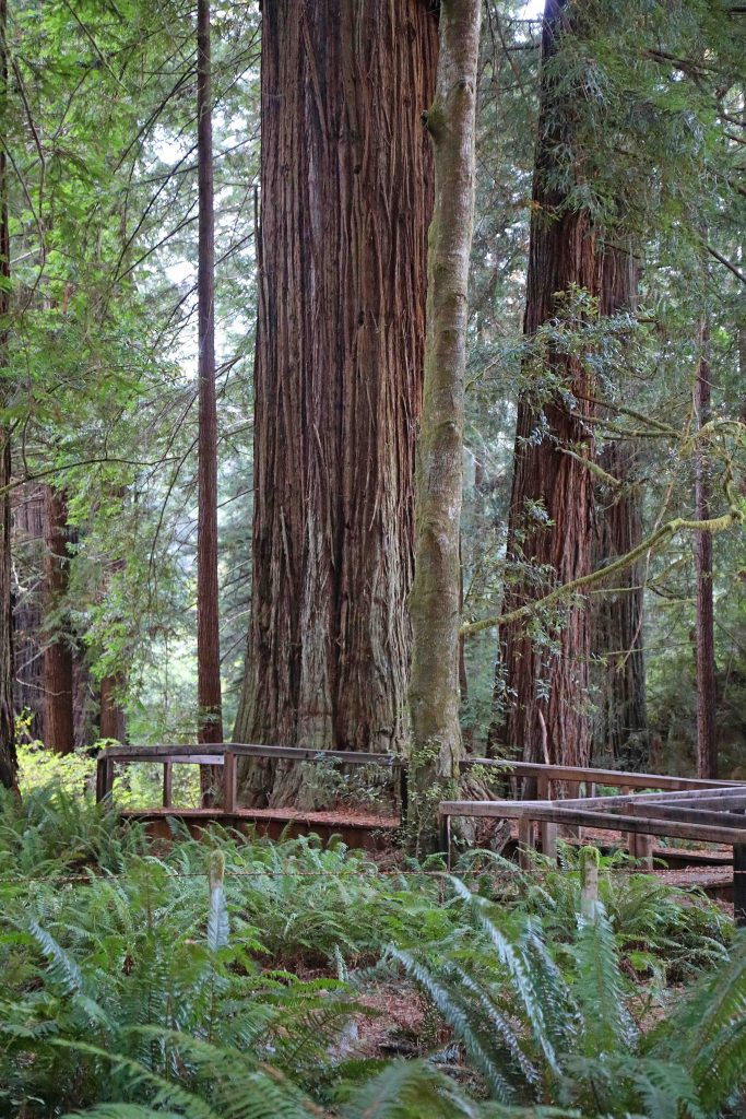 Things to do for your Redwood National Park vacation include road trips, enjoying the beach and taking epic hiking trails getting you up close to Redwood Trees like the Ladybird Johnson Grove hike! #redwood #nationalpark #thingstodo #redwoods #california